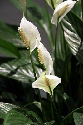 Peace lilie (Spathiphyllum) 1- Live Starter Plant