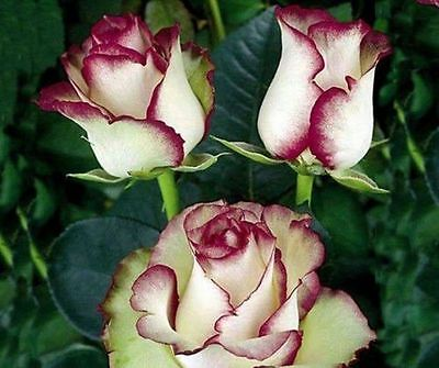 Light Green Rose with purple - Free shipping - Buy 2 packets & get 20 seeds free