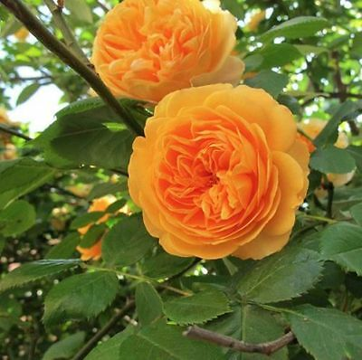 Orange Climbing Rose Seeds - very rare --  - Buy 2 packets & get 20 seeds free!
