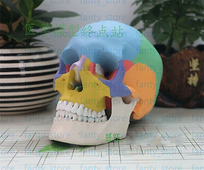 Colored Anatomical Human Same Size Skull Medical Model 19x15x21CM #A379 LW