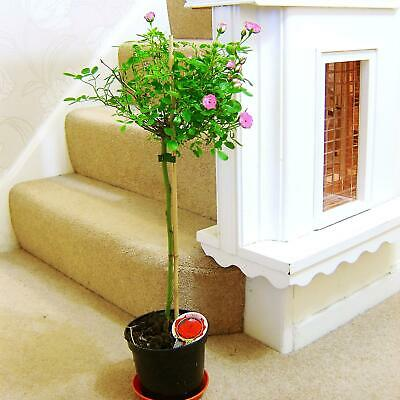 2ft Standing Topiary Rose Tree @ Pot Garden House Plant White Yellow Pink Flower