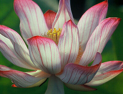 Two-Colour/Red & Whit//water lily flower Bowl-Pond Lotus/5 Fresh seeds/ Camellia