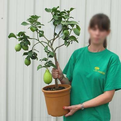 '4 seasons' Lemon Tree *Citrus limon '4 seasons' * everbearing * 5 fresh seeds