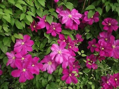 Rare ,most beautiful & unusual Clematis *Clematis Sunset  *5 fresh seeds *