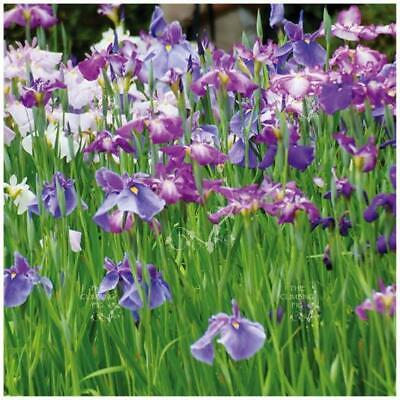 "IRIS ENSATA ""Japanese Water Iris"" seeds. Exotic blue, purple and white flowers."