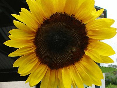 Sunflower Seeds Yellow Giant (30 Seeds)