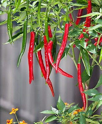 Chilli Pepper - Ring O Fire - Very HOT! 15 seeds