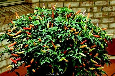 Chili pepper 'Basket of Fire' 15 Finest Seeds