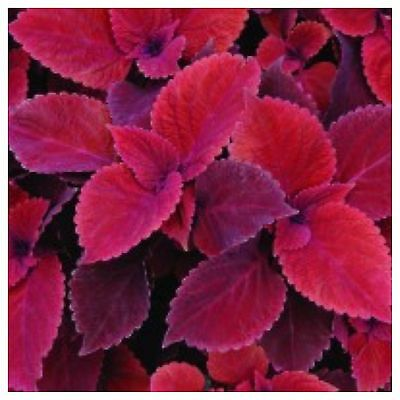 Coleus Red Velvet 1-Cutting Sun Or Shade Loving Annual And great house Plant