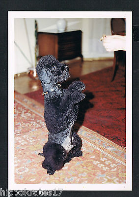 vintage FOTO PHOTO, schöner Hund Pudel dog pretty poodle beau caniche chien /56b