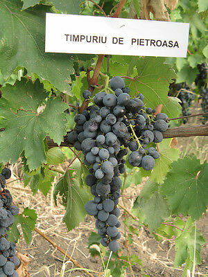 Rare * ´´ Early Rocky Blue ´´ Grapes  -Europe´s best grapes - 3 fresh cuttings