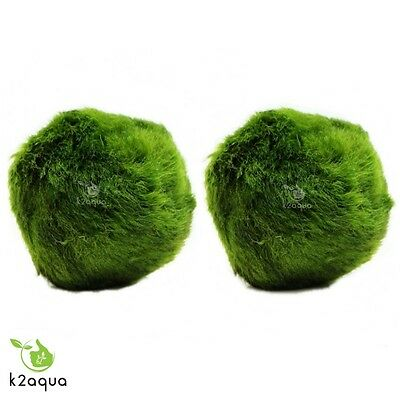 2 GIANT Japanese Marimo Moss Balls 5cm live aquarium plant shrimp fish tank java