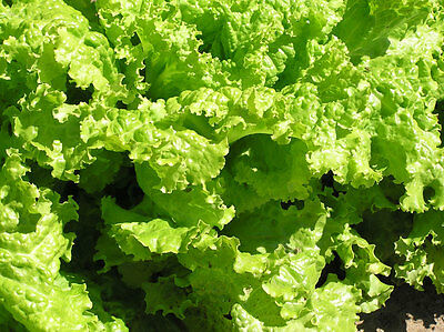 2g (appr. 2000) lettuce seeds GRAND RAPIDS Early variety. Easy to grow. Heirloom