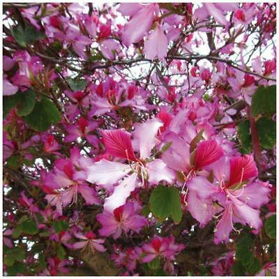 Bauhinia Hawaiian Orchid Tree Seeds Exotic Pink Purple Butterfly