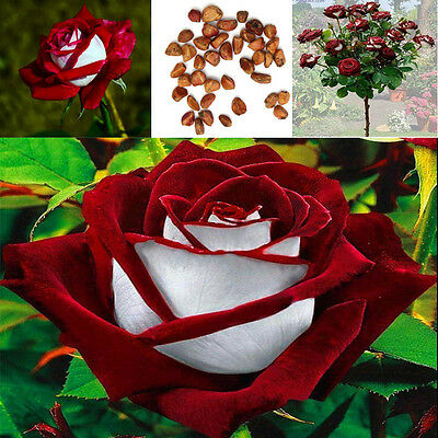 100pcs Rare Red & White Osiria Ruby Rose Flower Seeds Home Garden Plant Gift HY