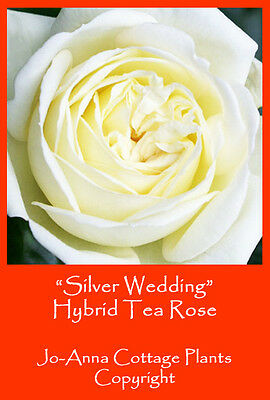 Silver Wedding Hybrid Tea Rose Scented Continous Flower Bare Rooted  * 4 For 3 *