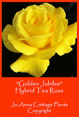 Golden Jubilee Hybrid Tea Rose Fragranced Continuous Flower Bare Rooted