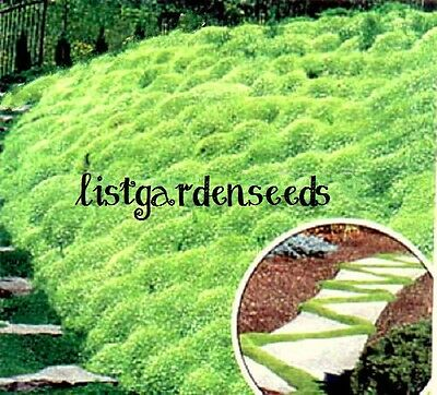 Herniaria Glabra SEEDS GREEN CARPET Ground Cover Grow in Poor Soil