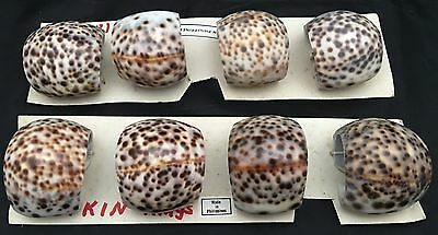 8 Vintage Natural Cowrie Tiger Sea Shell Napkin Rings Nautical From Phillipines
