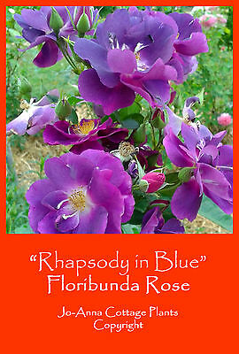 Rhapsody In Blue Floribunda Rose Continuous Flowering Bare Rooted  ** 4 For 3 **