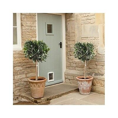Olive Tree Standard 1 M Set Of 2 Trees Meditarenean Garden Patio Grown Potted