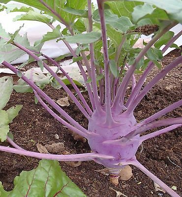 150+ Fresh Seeds Early Purple Vienna Kohlrabi Creamy Tender & Mild Heirloom