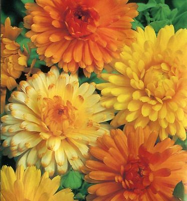 Calendula Art Shades 30 Finest seeds  UK crop