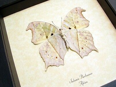Real Framed Salamis Parhassus Verso White Ghost Butterfly 200V