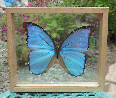 REAL BLUE MORPHO DIDIUS Butterfly Taxidermy Display Mounted Double Glass Framed