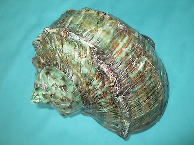 Turbo marmoratus-Green turban Seashell, 191mm lang- schönes Muster