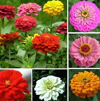 FD939 Mixed Colors Zinnia Elegans Giant Home Garden Planting Flower Seeds ~50PC^