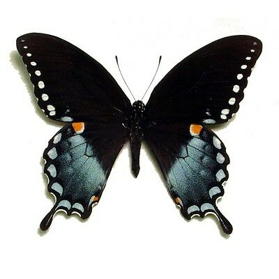 Real Framed Papilio Troilus Male Spicebush Swallowtail Butterfly 546