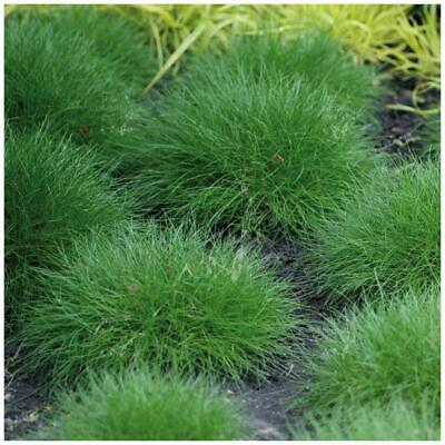 "Festuca Ovina ""Green Trooper™"". Perennial landscape grass, with fine foliage."