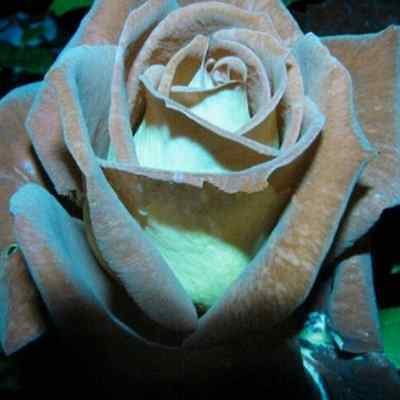 Chocolate Rose Seeds - very rare --  - Buy 2 packets & get 20 seeds free!