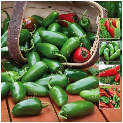 "Chili ""Jalapeno Gran Chile™"" seeds. Thick green & red chilli. Medium hot fruit."