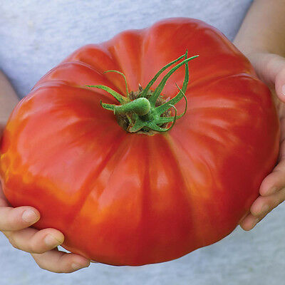 Tomato 'Gigantomo' UK Crop 20 Finest Seeds