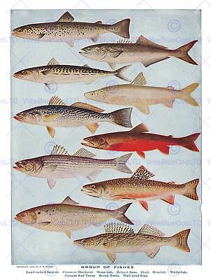 Drawing Scientific Fish Salmon Mackerel Trout Pike Art Print Poster Bb7845