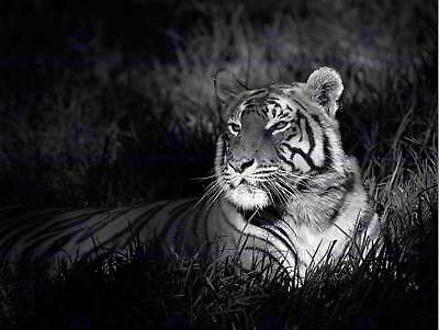 3785 Animal Poster Photo Poster Print Art * All Sizes PROWLER BENGAL TIGER