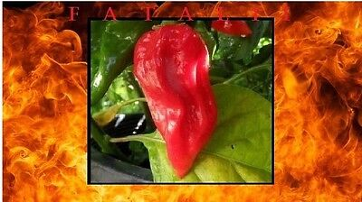 15 Seeds RED Fatalii Hot Chili Pepper Very Rare EXTREME Chile Heirloom