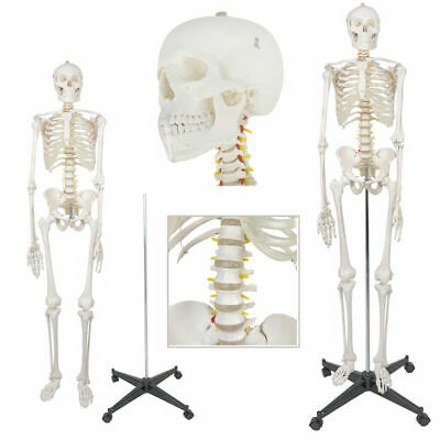 "New Life Size Human Anatomical Anatomy Skeleton Medical Model + Stand 70.8""(6FT)"
