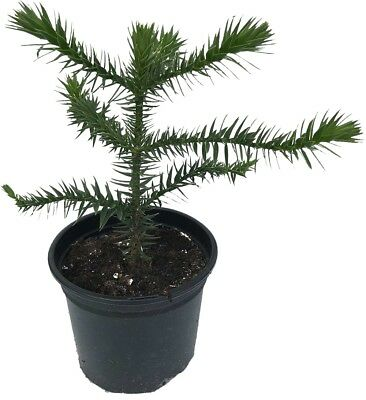 Monkey Puzzle Tree (Araucaria araucana) - 4 Years Old - 2L Pot