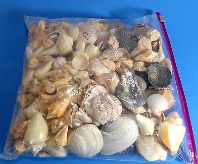 Large Bag Of Assorted Seashells Almost 3 Pounds Spirals Conch Wedding Crafts
