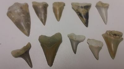 Lot of 10 Brown Mako Megalodon Era Shark Tooth  Collector Jewelry Fossil F11