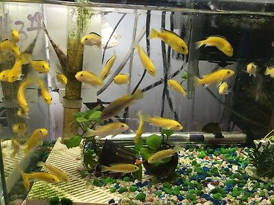 Electric Yellow Cichlid - Yellow Lab African Cichlid, Live Tropical Fish