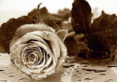 BLACK&WHITE ROSE FLOWERS Photo Wallpaper Wall Mural  Made in Germany! 360x254cm