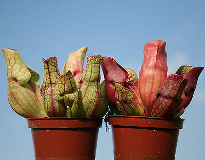 2 x North American PITCHER live CARNIVOROUS PLANTS: Sarracenia purpurea & venosa