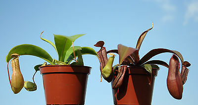 2x Highland Tropical PITCHER live CARNIVOROUS PLANTS:Nepenthes alata & sanguinea