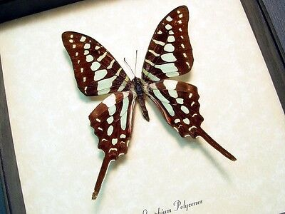 Real Framed Graphium Polycenes Green Swordtail Butterfly 865