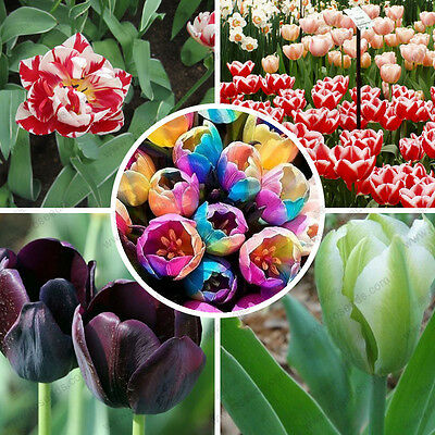 RARE! 100 Mixed Random Rainbow Tulip Seeds,Potted Tulip Flower Seeds