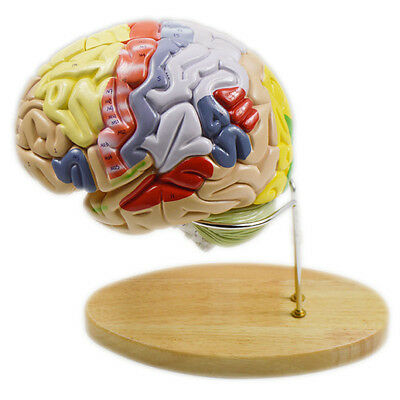 Magnify Human Anatomical Brain Anatomy Teach Model Professional + Stand